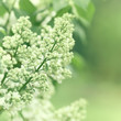 White Lilac Buds