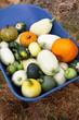 Squash Harvest IV