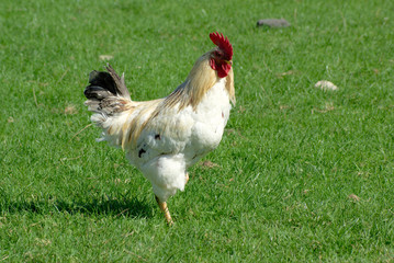 White  cock on green grass having a walk.