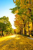 Golden yellow ginkgo trees at Yamashita Park in Kanagawa, Japan.