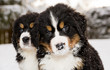 Bernese mountain dog puppest looking at camera