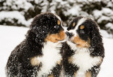Bernese mountain dog puppets sniff each others poster