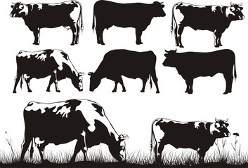cattle for milk and meat
