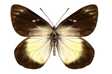 Butterfly species Delias fascelis korupun