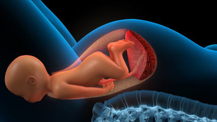 Fetus inside a womb