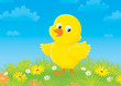 Yellow chick on a flower meadow