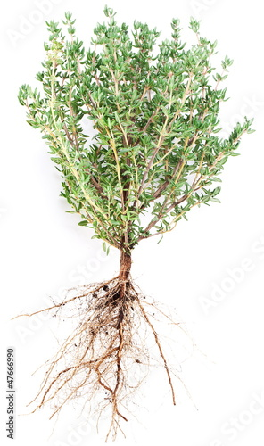 Thyme herb.