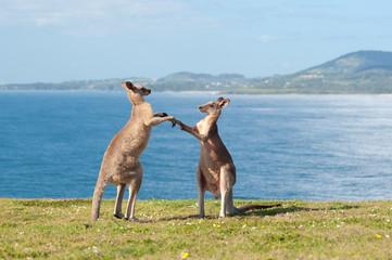 Boxing Kangaroos - Australia