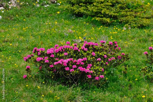 Bush of alpenrose (Rhododendron ferrugineum)
