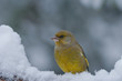 Bird (greenfinch) in the snow
