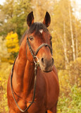 beautiful  sportive stallion autumn  portrait