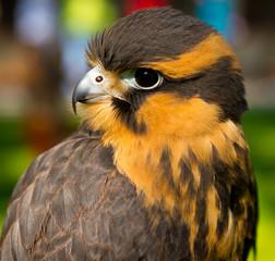 Aplomado Falcon looks back