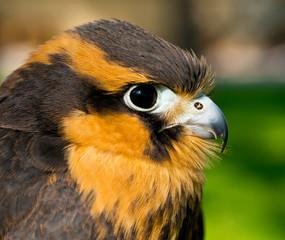 Aplomado Falcon head shot
