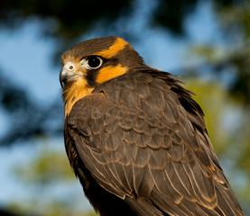 Aplomado Falcon looks over its shoulder