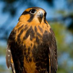 Aplomado Falcon beauty shot