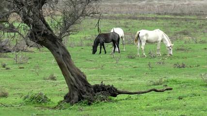 Pferde weiden auf einer Koppel mit altem Baum