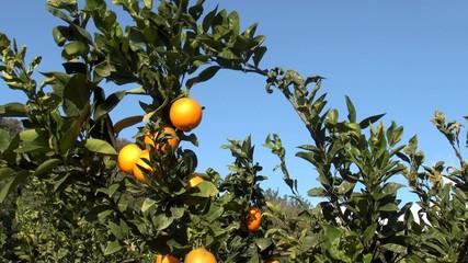 Orangenhain vor blauem Himmel