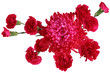 Red Carnation Chrysanthemum