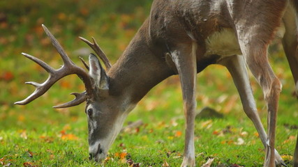Whitetail Buck Eating Leaves
