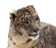 Snow leopard. Isolated over white
