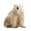 polar bear. Isolated over white