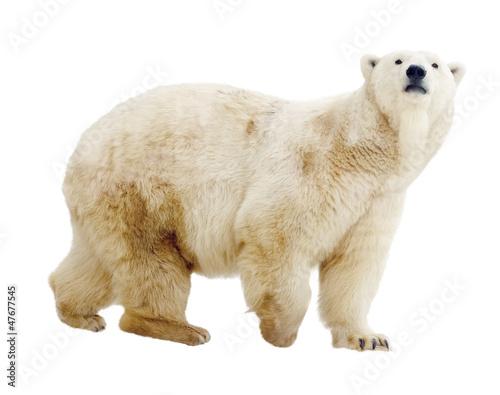 Fototapeten Eisbar polar bear. Isolated over white