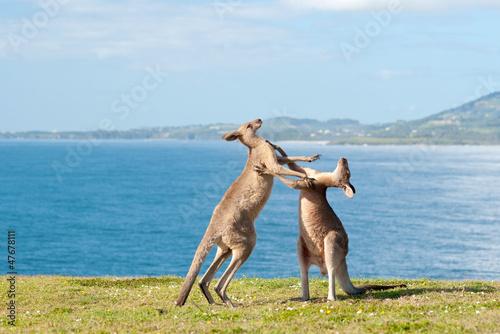 Fotobehang Kangoeroe Boxing Kangaroos - Australia