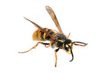 Wasp. (Paravespula germanica)