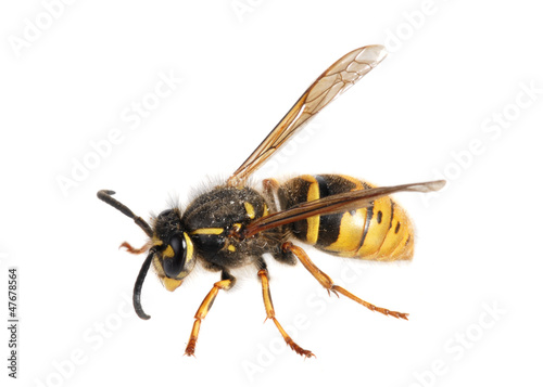Papiers peints Bee Wasp. (Paravespula germanica)