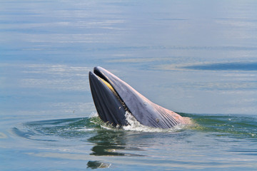 Bryde's Whale in thailand