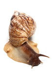 East African land snail isolated over white