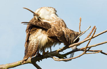 Buzzard cleans the feathers