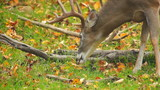Whitetail Deer Eating Leaf