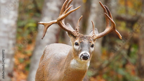 Mautre NonTypical Whitetail Deer