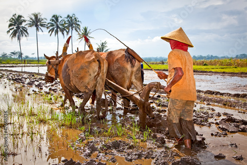 Javanese paddy farmer plows the fields the traditional way