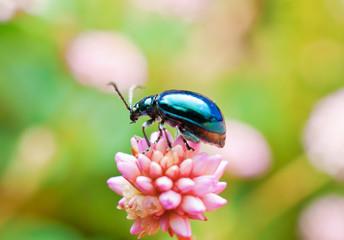 Leaf Beetle (Leptinotarsa haldemani)
