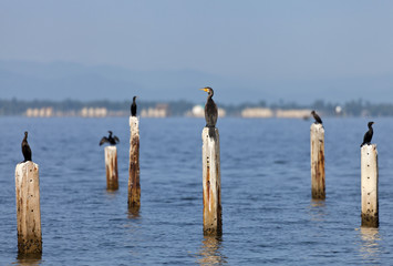 A Great Cormorant on post