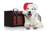 Happy husky dog in red Santa hat