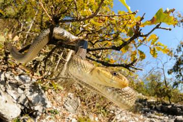 Aesculapian snake in its xeric habitat
