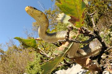 Aesculapian snake (Zamenis longissimus) on tree