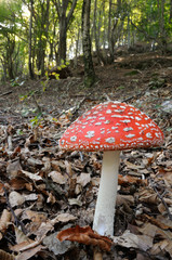 fly agaric (Amanita muscaria) in its habitat