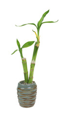 Bamboo Shoots Growing Tiny Urn
