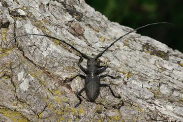 Morimus asper (Cerambycidae)