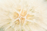 Background from a white gentle fluffy dandelion - 47698182