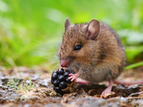 Wild field mouse eating blackberry