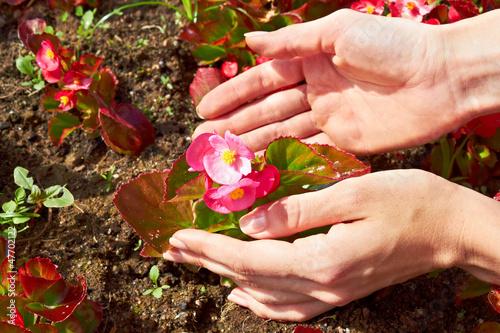 Gardening: pink begonia