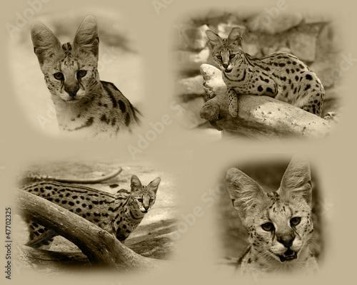 Serval African Wild Cat