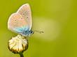 Mazarine Blue Butterfly