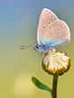 Mazarine Blue Butterfly on a flower