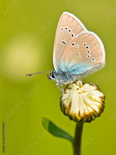 Mazarine Blue Butterfly on a flower